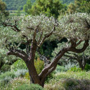 Villa Saint-Tropez Ramatuelle Bastide Cote d`Azur Ferienhaus Garten Olivenbäume